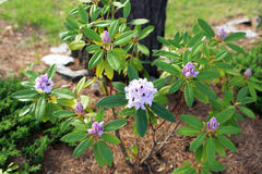 Lilac blooming rhododendron in the shade of a tree. Lilac blooming rhododendron bush in the shade of a tree stock photo