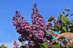 Lilac blooming spring Royalty Free Stock Photo