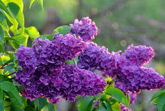 Lilac. Blooming lilac in the sunlight Stock Photos