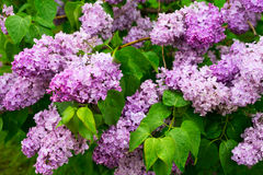 Lilac blooming tree Royalty Free Stock Image