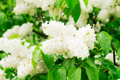 Lilac blooming tree Stock Image