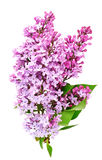 Lilac blooming twigs isolated Royalty Free Stock Images