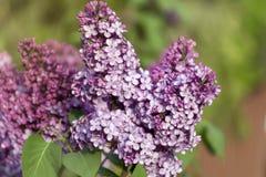 Lilac blooms. A beautiful bunch of lilac closeup Royalty Free Stock Photos
