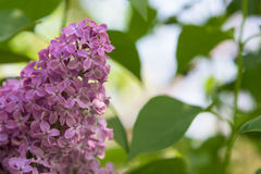 Lilac blooms beautiful bunch of lilac closeup Stock Image