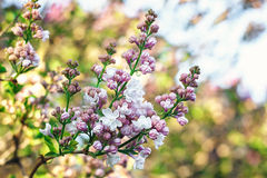 Lilac blooms. A beautiful bunch of lilac closeup. Lilac Flowering. Lilac Bush Bloom. Royalty Free Stock Photos