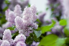 Lilac blooms. A beautiful bunch of lilac closeup. Lilac Flowering. Lilac Bush Bloom. Lilac flowers in the garden Stock Images