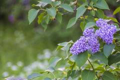Lilac blooms in the garden. Stock Photo