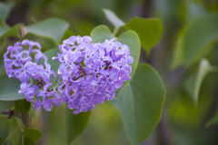 Lilac blooms in garden. Royalty Free Stock Image
