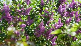 Lilac blooms lilac Bush Bloom closeup Stock Images