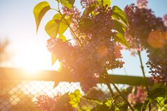 Lilac blooms in the spring in the sun.  stock image