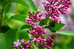 Lilac blooms with water drops. A beautiful bunch of lilacs closeup. Natural seasonal floral background. Royalty Free Stock Photos