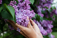 Lilac blooms in woman hands. Royalty Free Stock Image
