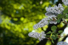 Lilac blossom Royalty Free Stock Images