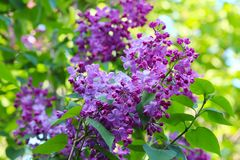 Purple lilac blossom Royalty Free Stock Images
