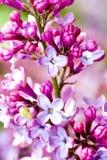 Lilac blossom. Stock Image