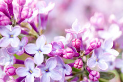 Lilac blossom. Stock Photography