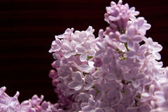 Lilac blossom flower Royalty Free Stock Image