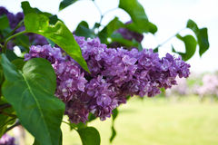 Lilac Blossom. A purple lilac blossom grows and shows itself in a full brightness Stock Image