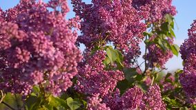 Lilac blossom tree in the garden in spring, insects pollinate flowers of lilac, flowering tree against a blue sky. stock video