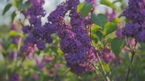 Blossoming lilacs waving from the spring wind at sunset. Lilac blossom tree in the garden in the spring sunshine, branches of lilac swaying wind, blossoming stock footage