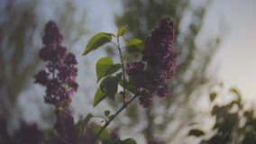 Sunset Sun Shining Through The Lilac Flowers. Lilac blossom tree in the garden in the spring sunshine, branches of lilac swaying wind, blossoming garden in stock video footage