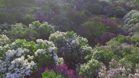 Lilac blossom tree in spring garden, blooming lilac tree. Aerial view. Lilac blossom tree in spring garden, blooming lilac tree stock footage
