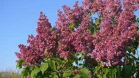 Lilac blossom tree in spring garden, blooming lilac tree against a blue sky. Lilac blossom tree in spring garden, blooming lilac tree against a blue sky stock video footage