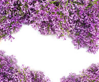 Lilac blossom  on white background with empty space for greeting message Stock Photo
