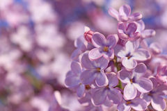 Lilac blossoming Stock Images