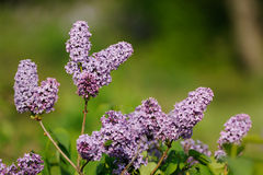 Lilac blossoms Royalty Free Stock Photos
