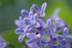 Lilac blossoms. Macro of blossoms from a lilac bush flower Stock Images