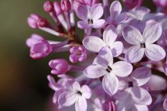 Lilac blossoms. Macro of blossoms from a lilac bush flower Royalty Free Stock Image