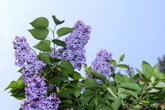 Lilac Blossoms. Spring blossoms - lilac bush stock photography