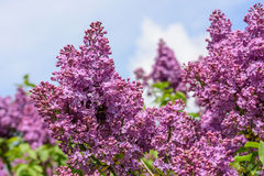 Lilac blossoms Stock Image