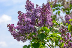 Lilac blossoms Royalty Free Stock Images