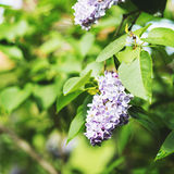 Lilac blossoms in the park in spring Royalty Free Stock Photography