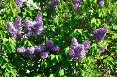 Lilac blossoms in springtime. In Brittany royalty free stock photography