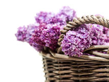 Lilac blossoms in wicker basket Royalty Free Stock Image