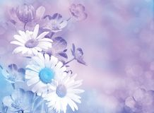 Lilac blue flower background. Chamomiles, yellow-cup in pastel shades Royalty Free Stock Image