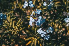 Lilac and blue flowers of bicolor erysimum in nature royalty free stock photo