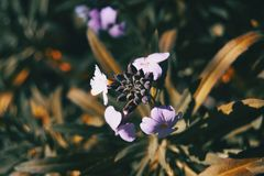 Lilac and blue flowers of bicolor erysimum in nature stock images