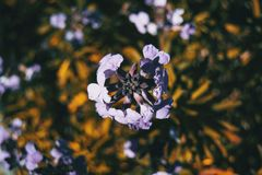 Lilac and blue flowers of bicolor erysimum in nature royalty free stock photography
