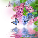 Lilac blue and pink butterfly. Branch of lilac blue and pink butterfly and water Royalty Free Stock Images