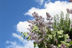 Lilac and blue sky with white clouds stock photos