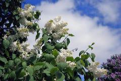 Lilac bomen Genomen in Lilac tuin in Moskou Stock Afbeeldingen