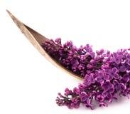 Lilac bonito Imagens de Stock