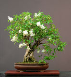 Lilac bonsai in bloom Stock Photography
