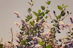 Lilac boom Royalty-vrije Stock Foto