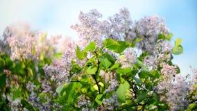 Lilac boom en hemel stock video