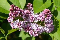 Lilac boombloemen Royalty-vrije Stock Afbeeldingen